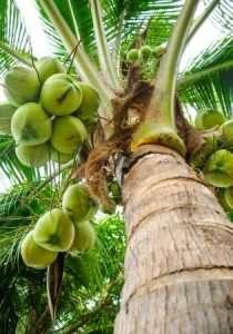 24692278 - close up of fresh coconut tree in garden, thailand